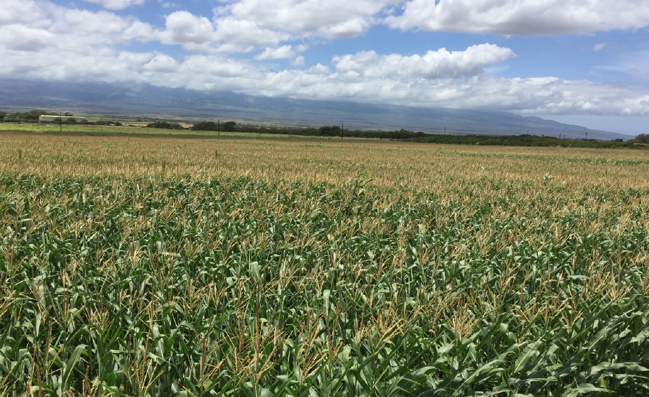 Corn field in Maui