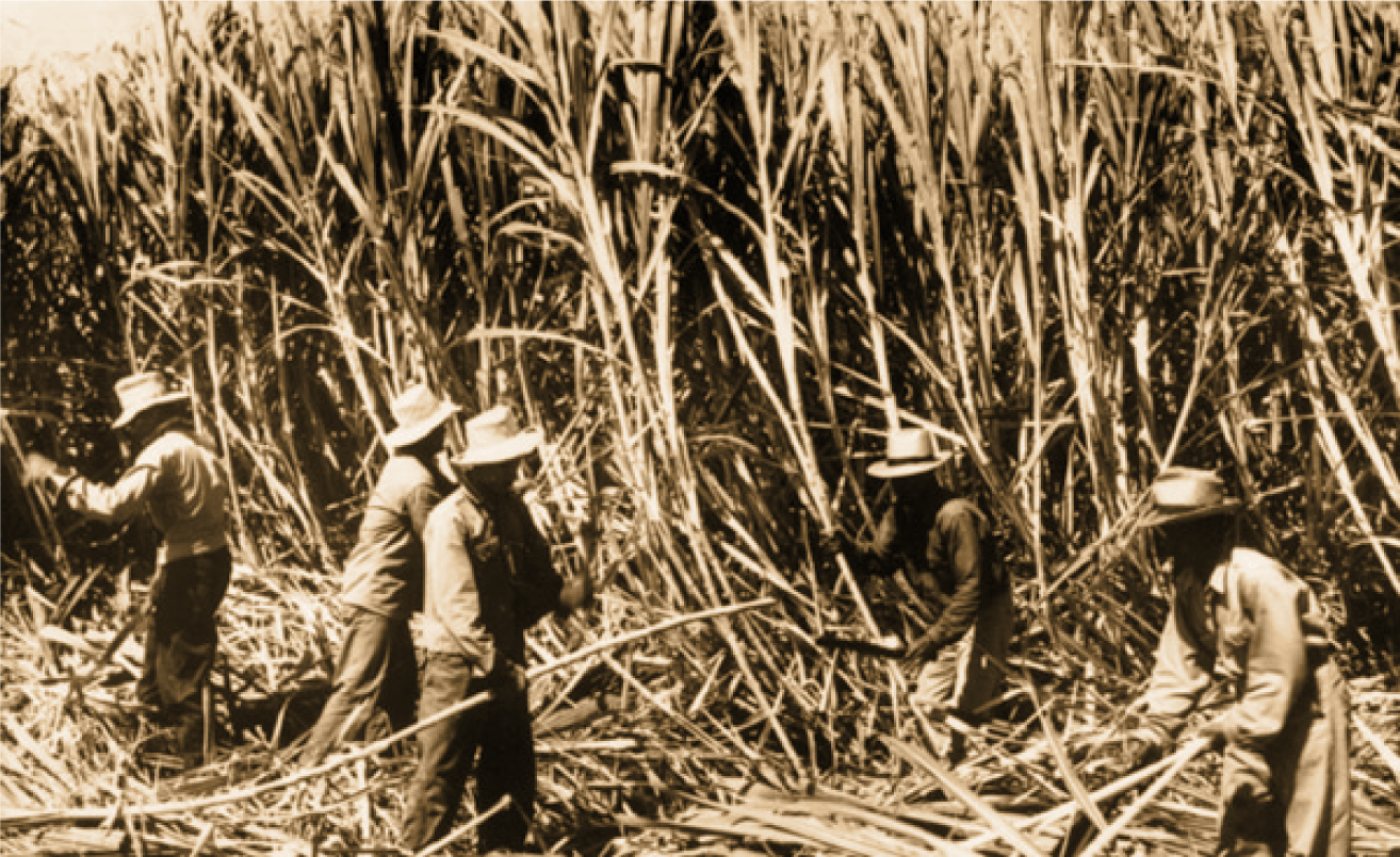 HC&S employees harvesting sugarcane