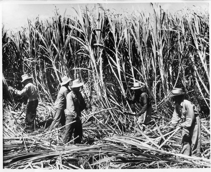 HC&S workers harvesting sugarcane